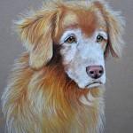Dog-portrait-tollerQuinn