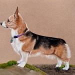 dog-portrait-Brenna-Corgi