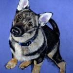 dog-portrait-Jonsie2-Swedish-Vallhund