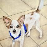 dog-portrait-Pablo-Chihuahua