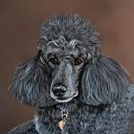 dog-portrait-Ritz-Poodle