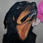dog-portrait-Usher-Rottweiler