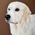 Stael, English Golden Retriever