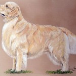 Show, Golden Retriever
