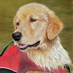 Hollywood, Golden Retriever