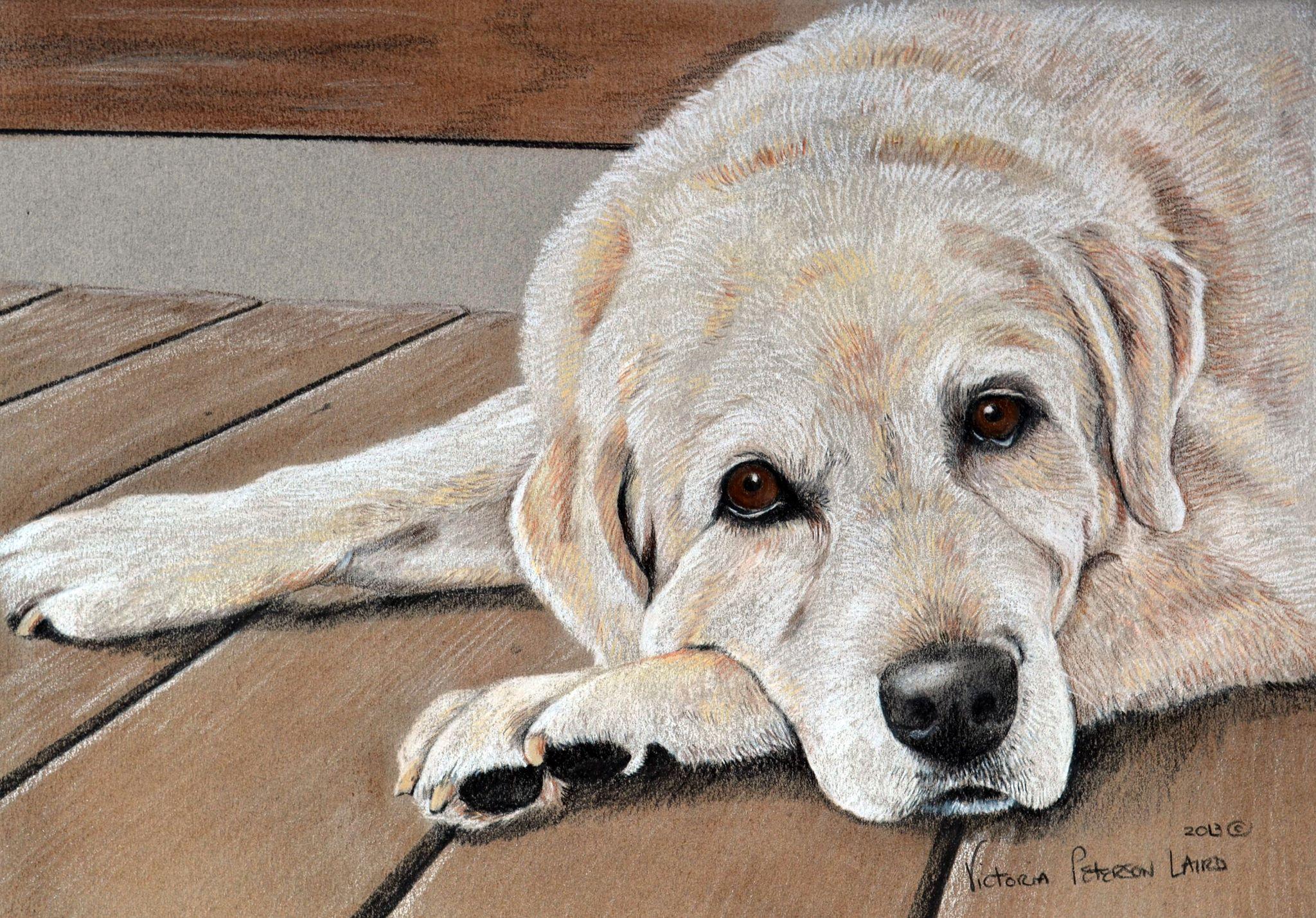 Maggie, Labrador Retriever