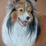 Scully, Shetland Sheepdog
