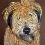 Harris, Wheaten Terrier